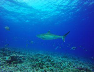כריש במים כחולים
