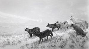 צילום שחור לבן של זאבים