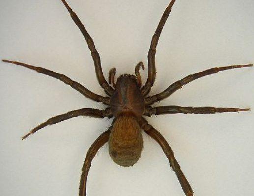 חמלת העכביש
